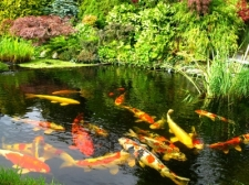 protect-koi-fish